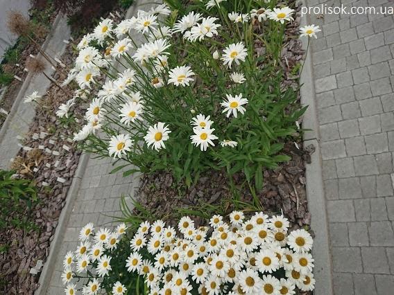 """Королиця """"Аляска"""" (Leucanthemum x superbum """"Alaska"""") - 3"""