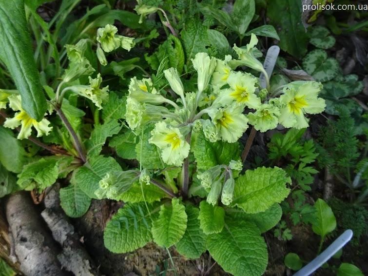 """Первоцвіт гібридний """"Франческа"""" (Primula  hybrid """"Francesca"""") - 5"""