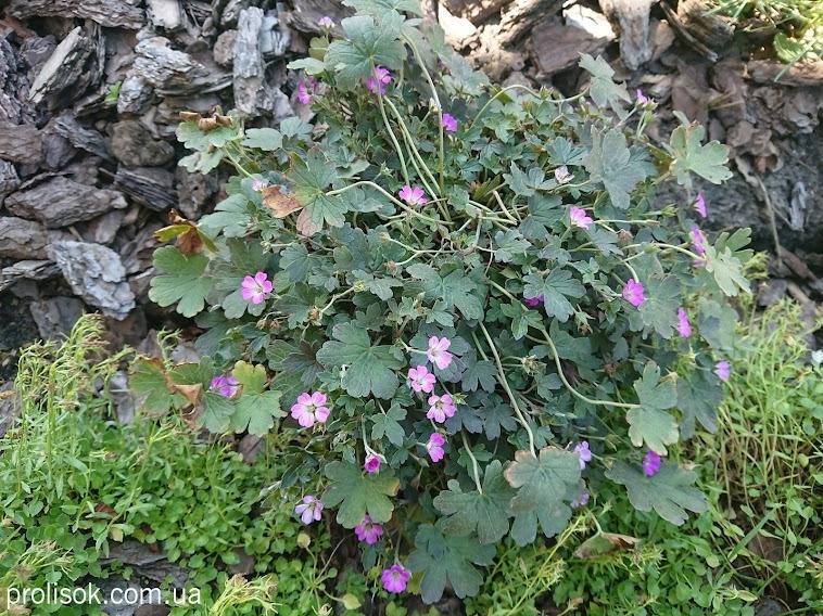 """Герань """"Окней Черрі"""" (Geranium """"Orkney Cherry"""") - 1"""