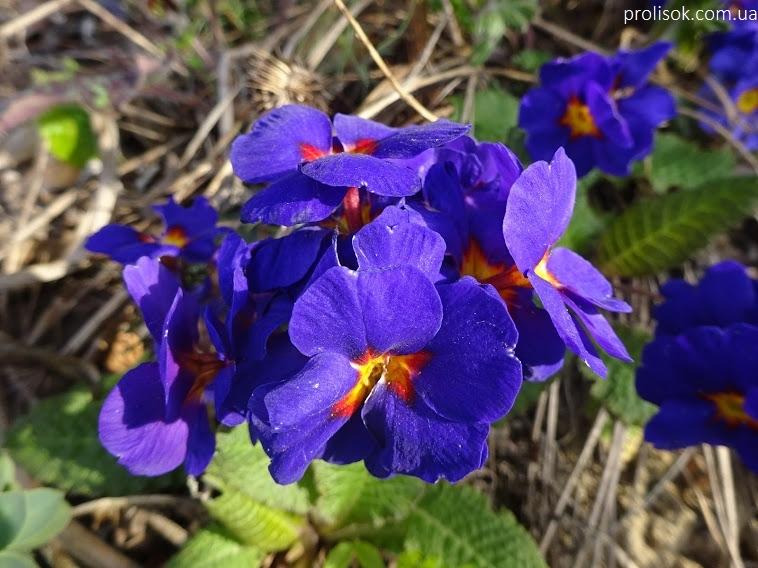 """Первоцвіт Томмазіні """"Ю енд Мі Блю""""(Primula х tommasiniі """"You and Me Blue"""") - 1"""