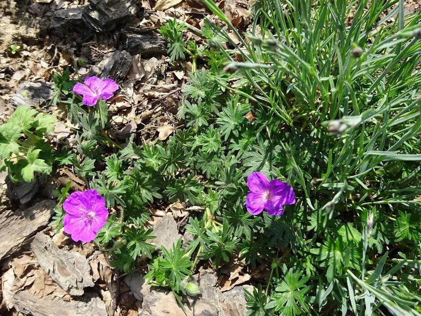 """Герань криваво-червона """"Компакта"""" (Geranium sanguineum """"Compactum"""") - 1"""