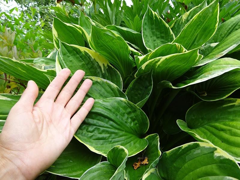 Хоста Форчуна вар. Ауреомаргіната (Hosta fortunei var. aureomarginata) - 2