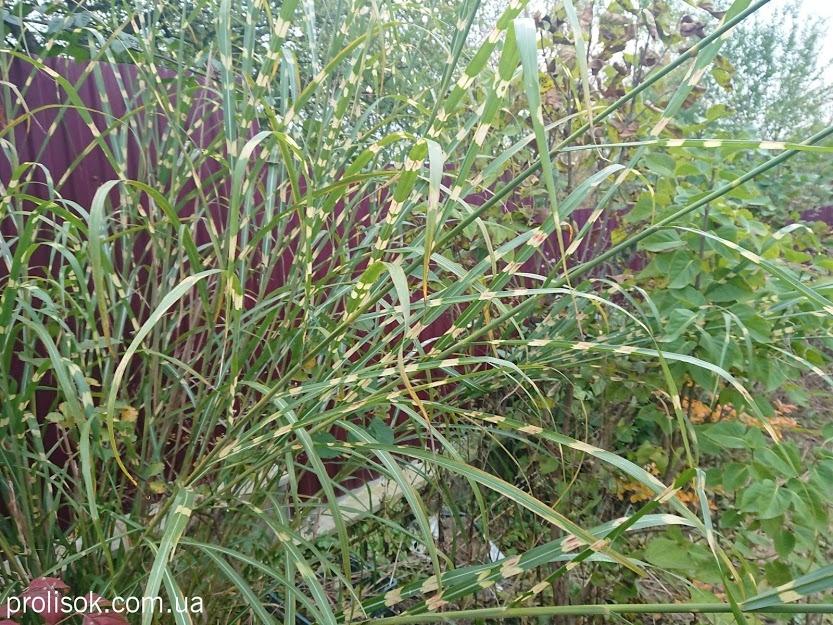 """Міскантус китайський """"Зебрінус"""" (Miscanthus sinensis """"Zebrinus"""") - 5"""