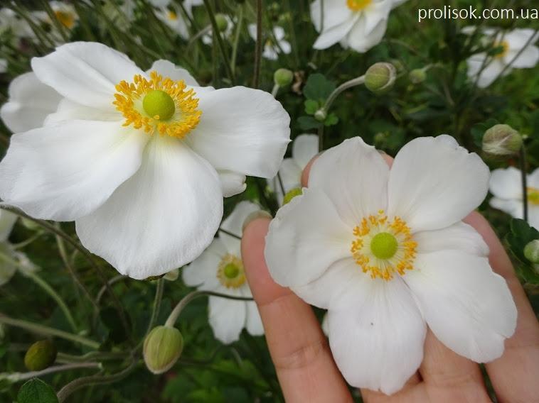 "Анемона японська ""Андреа Аткінсон"" (Anemone japonica ""Andrea Atkinson"") - 4"
