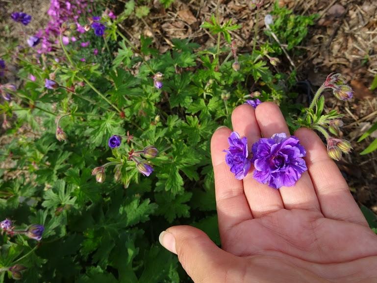 """Герань гімалайська """"Бірч Дабл"""" (Geranium himalayense """"Birch Double"""") - 2"""