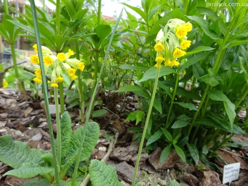 Первоцвіт великочашечковий (Primula macrocalyx Bunge) - 1