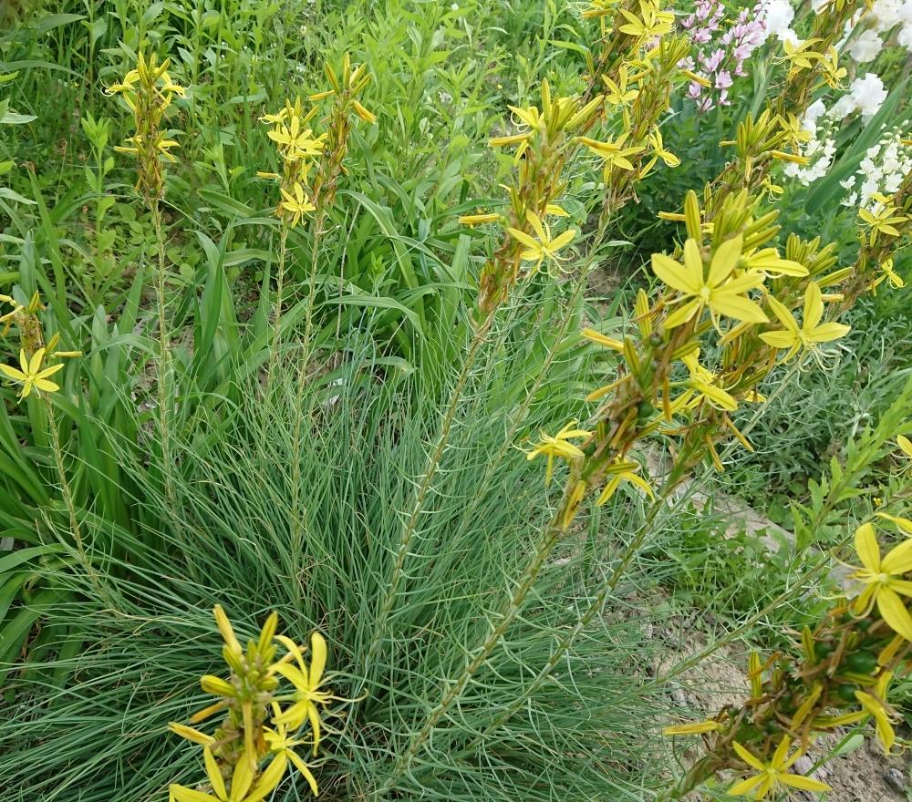 Асфоделіна жовта (Asphodeline lutea) - 3