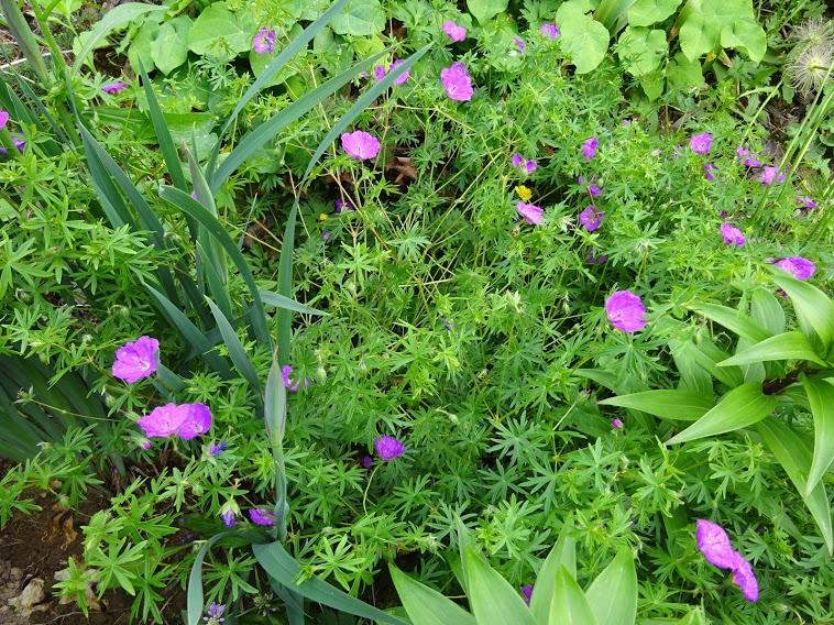 Герань криваво-червона (Geranium sanguineum) - 2