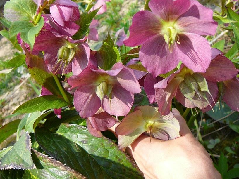 """Чемерник гібридний ЛС """"Блю Леді"""" (Helleborus × hybridus LS """"Blue Lady"""") - 4"""