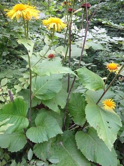 Крем'яник гарний (Telekia speciosa) - 4