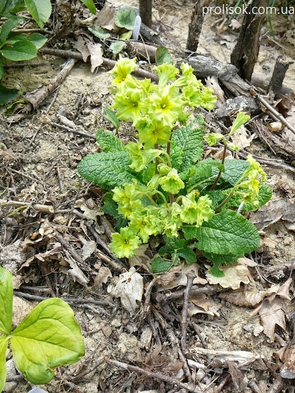 """Первоцвіт гібридний """"Франческа"""" (Primula  hybrid """"Francesca"""") - 6"""