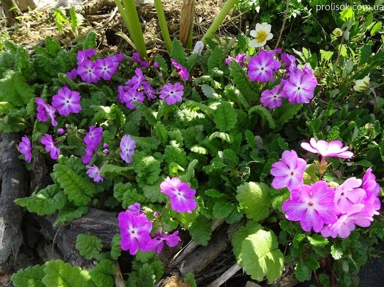 Первоцвіт Зібольда (Primula sieboldii) - 2