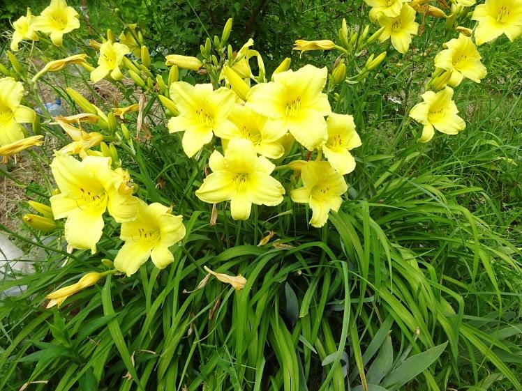 Лілійник жовтий (Нemerocallis lilioasphodelus) - 3