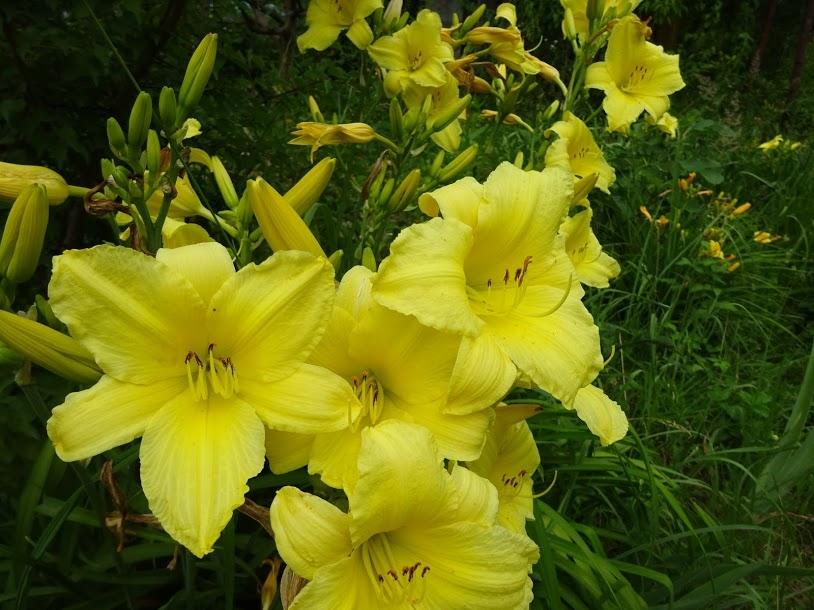 Лілійник жовтий (Нemerocallis lilioasphodelus) - 1