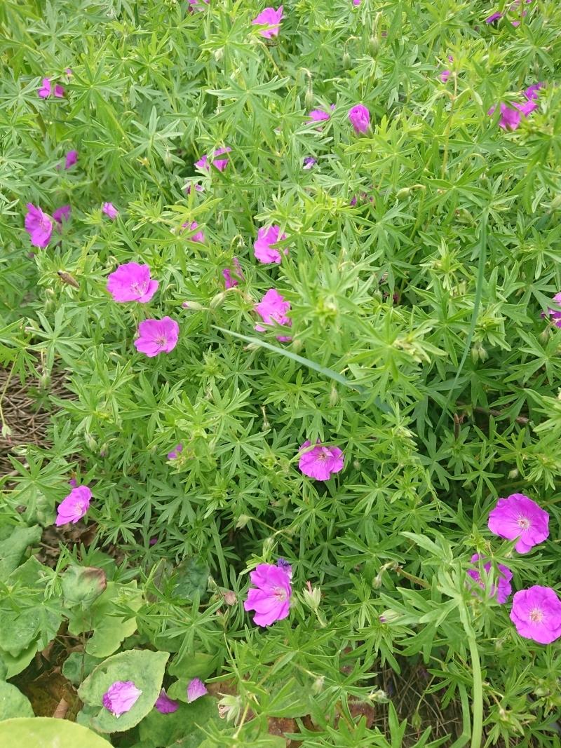 Герань криваво-червона (Geranium sanguineum) - 3