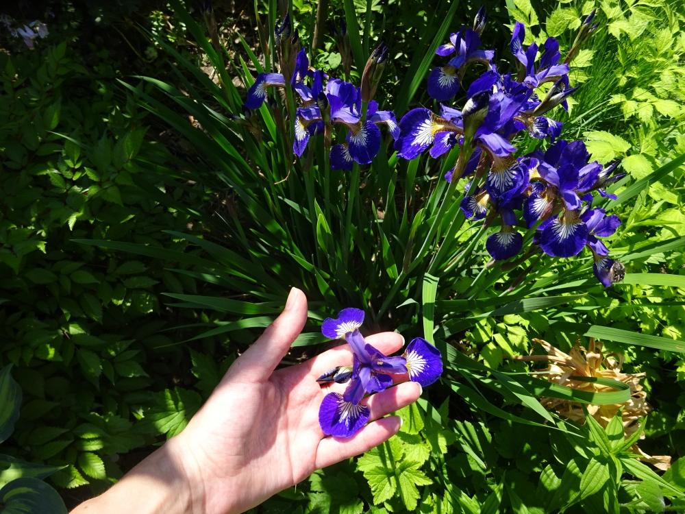 "Півники різнобарвні ""Кларет Кап"" (Iris versicolor ""Claret Cup"") - 2"
