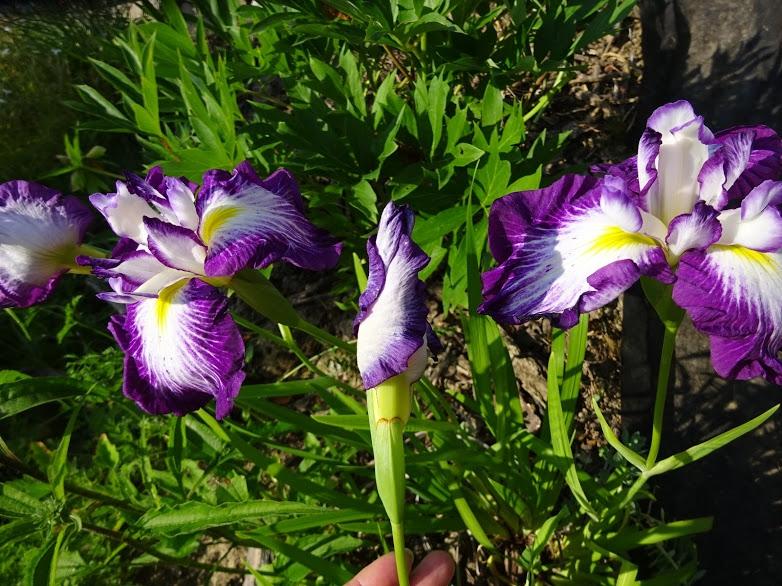 """Півники мечоподібні """"Ред Репітер"""" (Iris ensata """"Red Repeater"""") - 6"""