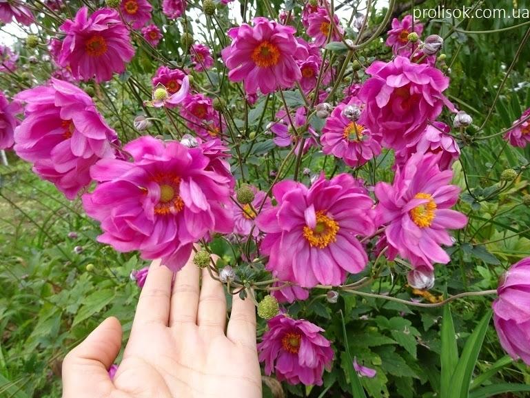 "Анемона японська ""Паміна"" (Anemone japonica ""Pamina"") - 2"