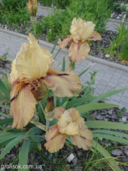 """Півники бородаті """"Торнбірд"""" (Iris """"Thornbird"""") - 1"""