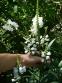 Фізостегія віргінська біла (Physostegia virginiana f. alba) - 1