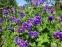 """Герань чудова """"Роземор"""" (Geranium x magnificum """"Rosemoor"""") - 3"""