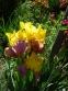 """Півники бородаті """"Енхантед Оне"""" (Iris """"Enchanted One"""") - 7"""