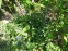 Самосил гайовий (Teucrium chamaedrys) - 2