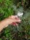 Полин холодний (Artemisia frigida Willd.) - 4