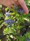 "Тирлич хрещатий ""Блю Кросс"" (Gentiana cruciata ""Blue Cross"") - 2"