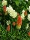 Кніфофія ягідна (Kniphofia uvaria (L.) Hook) - 1