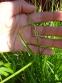Осока пальмолиста (Carex muskingumensis) - 3