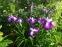 """Півники мечоподібні """"Ред Репітер"""" (Iris ensata """"Red Repeater"""") - 1"""