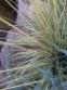 "Молінія блакитна ""Варієгата"" (Molinia caerulea ""Variegata"") - 2"