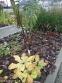 Первоцвіт японський (Primula japonica) або Примула японська - 4