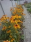 Рудбекія двоколірна (Rudbeckia bicolor) - 4