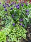 "Орлики звичайні ""Лепрекон Голд"" (Aquilegia vulgaris ""Leprechaun Gold"") - 6"