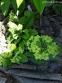 """Первоцвіт гібридний """"Франческа"""" (Primula  hybrid """"Francesca"""") - 7"""