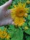 Крем'яник гарний (Telekia speciosa) - 6
