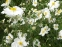"Анемона японська ""Андреа Аткінсон"" (Anemone japonica ""Andrea Atkinson"") - 5"