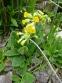 Первоцвіт великочашечковий (Primula macrocalyx Bunge) - 3