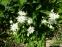 "Орлики звичайні ""Клементін Вайт"" (Aquilegia vulgaris ""Clementine White"") - 2"