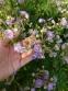 """Герань лучна """"Саммер Скайс"""" (Geranium pratense """"Summer Skies"""") - 1"""