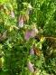 Дзвоники крапчасті (Campanula punctata) - 5