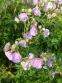 """Герань лучна """"Саммер Скайс"""" (Geranium pratense """"Summer Skies"""") - 3"""