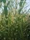 """Міскантус китайський """"Зебрінус"""" (Miscanthus sinensis """"Zebrinus"""") - 3"""