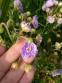 """Герань лучна """"Саммер Скайс"""" (Geranium pratense """"Summer Skies"""") - 5"""
