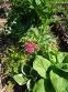 Первоцвіт японський (Primula japonica) або Примула японська - 2