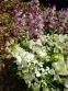 Ясенець білий (Dictamnus albus) - 2