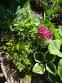 """Бруннера великолиста """"Діанас Голд"""" (Brunnera macrophylla """"Diane's Gold"""") - 1"""