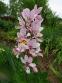 Ясенець білий варіант пурпуровий (Dictamnus albus var. purpureus) - 3